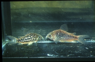 Corydoras Undulatus : corydoras undulatus corydoras undulatus is a tropical freshwater fish ...