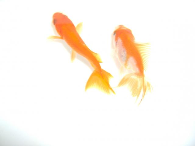 Common Goldfish w/double tail & Fantail Goldfish