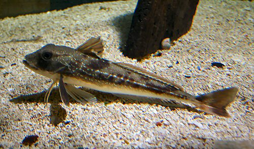 Grey Gurnard at Marypot Aquarium Cumbria
