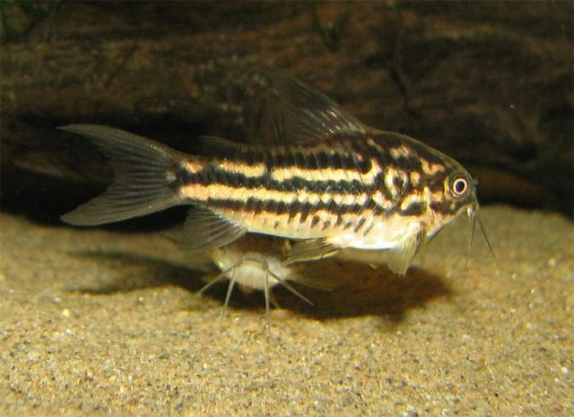 Corydoras bilineatus male