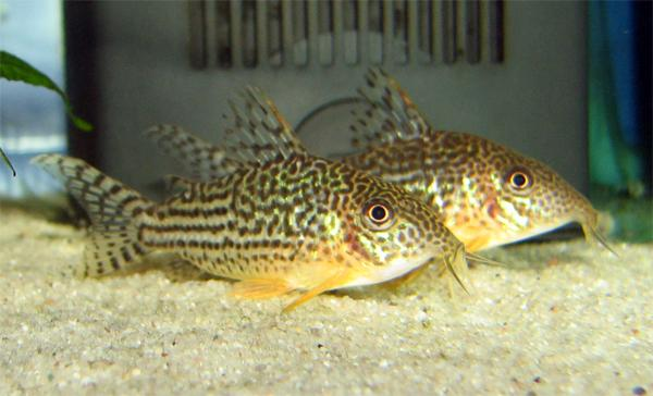 Corydoras haraldschultzi