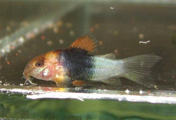 Corydoras rabauti 4 weeks old