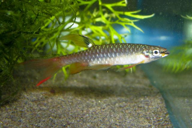 Copella arnoldi - Splash tetra male