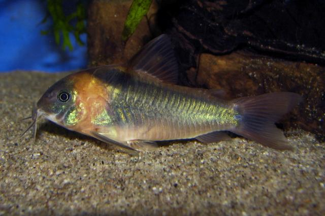 Corydoras eques - female