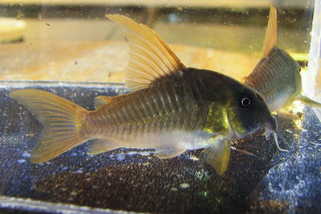 Corydoras concolor - male