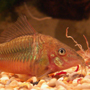 Five new species of Hypostomus cochliodon group - last post by Plec