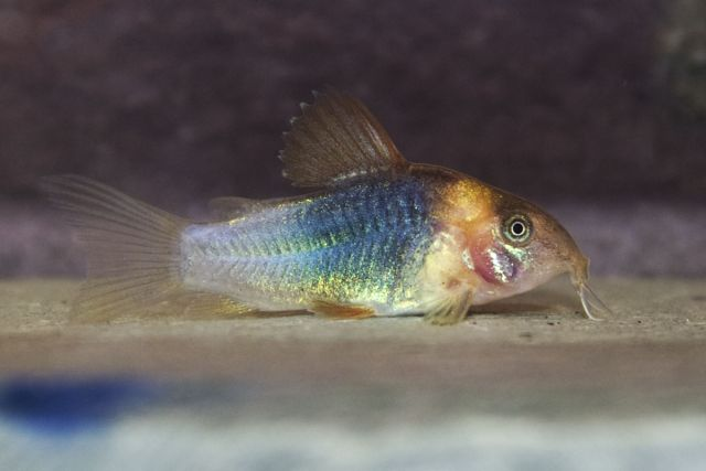 Corydoras eques - 4 weeks old