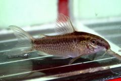 Corydoras gracilis - female