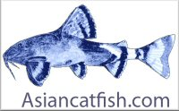 Asian Catfish
