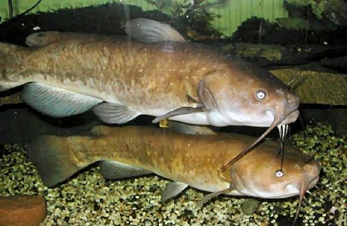 Ameiurus nebulosus  = Pair - female above