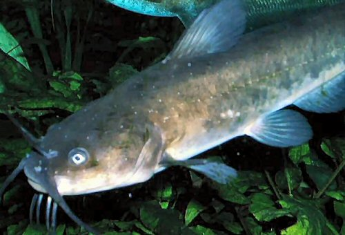 Adolescent catfish, about 2 years old.