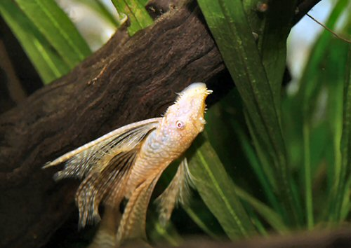 Ancistrus sp. 'albino' = long-finned male