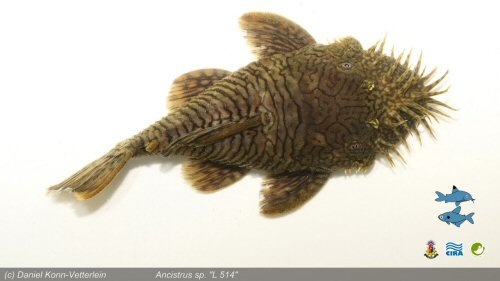 Ancistrus sp. (L514) = dorsal view