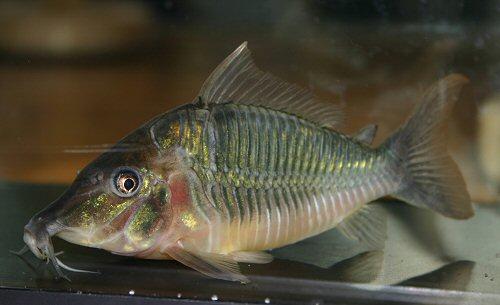 ... shows the longer head and barbel arrangement of Brochis multiradiatus