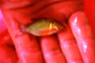 Brochis splendens=just caught