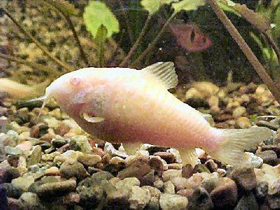 [Gambar: c_aeneus_albino2.jpg]
