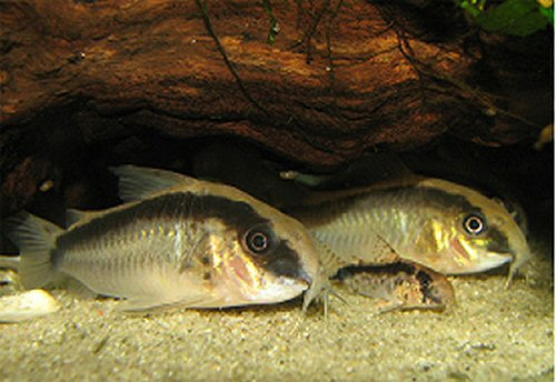 Corydoras arcuatus  - pair and youngster - female to front
