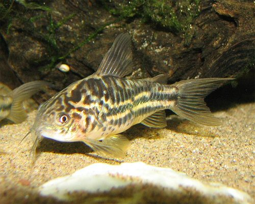 Corydoras bilineatus  = female