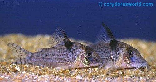Corydoras blochi  = Pair, female on right