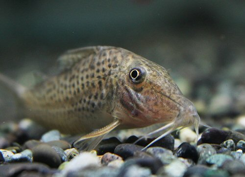 Corydoras cervinus = head view