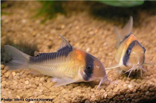 Corydoras adolfoi = pair =  Male (left), female (right)