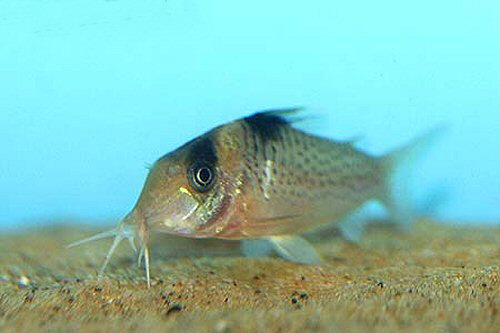 Corydoras ephippifer - head view
