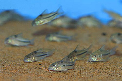 Corydoras nattereri  = group