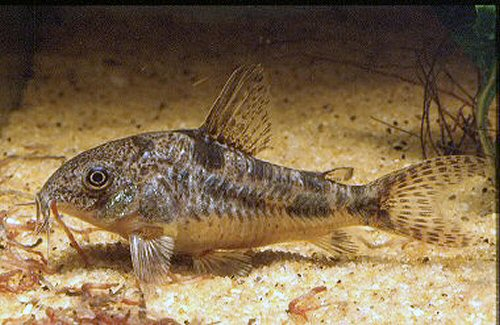 Corydoras paleatus for Pesce pulitore acqua dolce