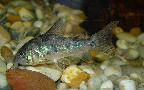 Corydoras paleatus (male) Glass etching