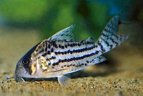 Corydoras schwartzi for Cory cat fish