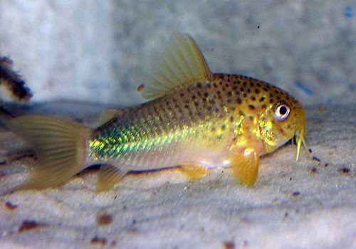 Bluespotted Corydoras : Blue Corydoras Pictures to pin on Pinterest