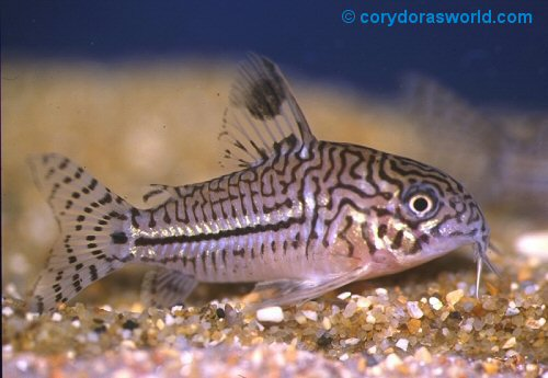 Aquarium Small Fishes, False julii cory (Corydoras trilineatus)