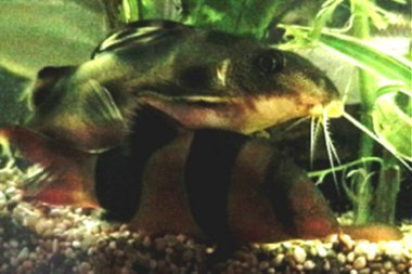 Clown Catfish & Clown Loach