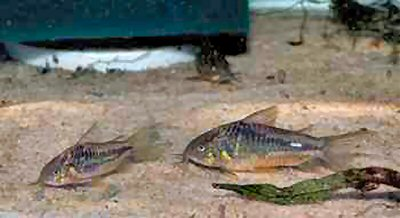 Corydoras sp. (C089) = Pair - male to front
