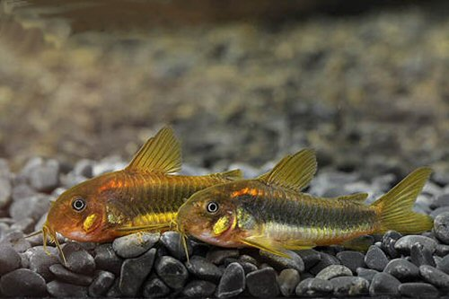 Corydoras sp. (CW010) = pair male to front