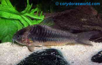 Corydoras sp. (CW019) = female