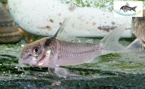 Corydoras sp. (CW030) - young male