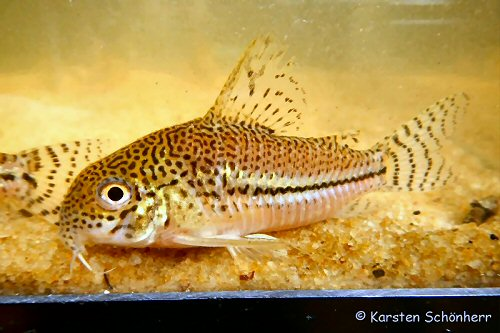 Corydoras sp. (CW050) = From Comté river, French Guiana