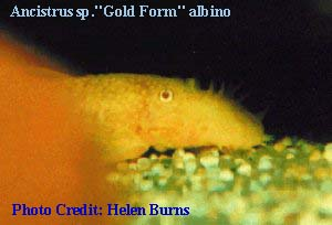 "Ancistrus sp. ""Gold Form"" Albino"
