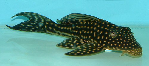 Hypostomus regani
