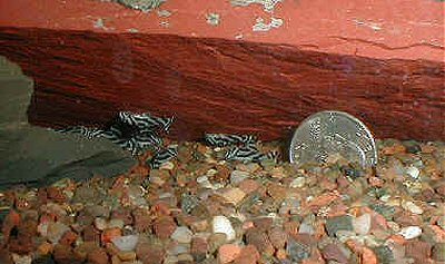 Hypancistrus zebra  = 5 weeks old