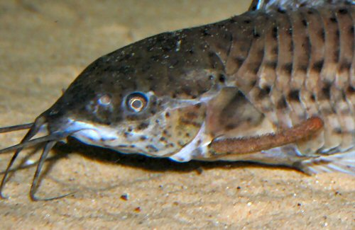 Megalechis thoracata  = close up of head