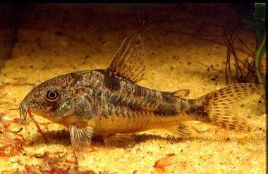 L 39 acquario for Pesce pulitore acqua dolce