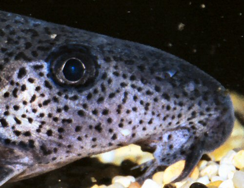 Synodontis sorex = close-up of head