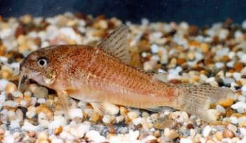 and also corydoras polystictus from brazil which has the same markings ...