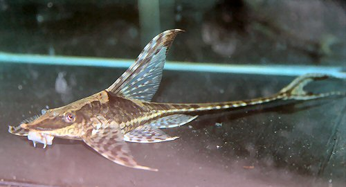 FS Royal Whiptail in Aquarium Classifieds. FOR SALE. Forum