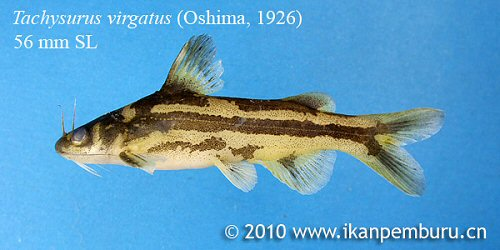 Tachysurus virgatus = From a stream near Beilun river at the border of China and Vietnam