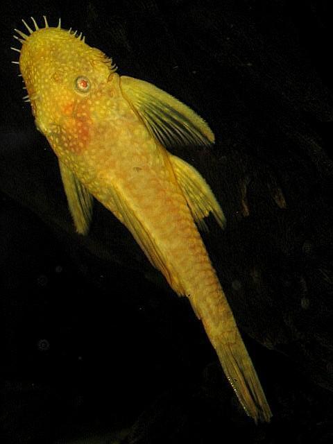 Verbazingwekkend Ancistrus sp. 'albino' QJ-83