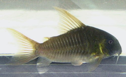 Corydoras concolor = male