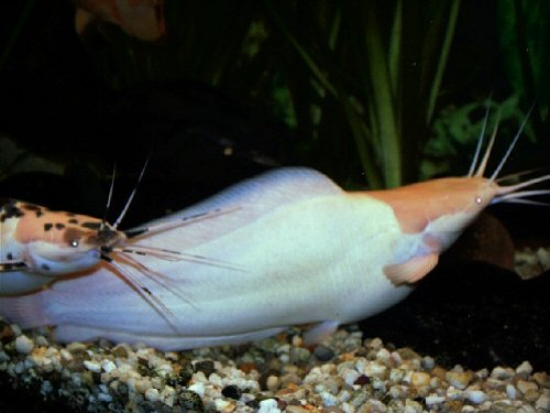 Albino Walking Catfish - photo#40